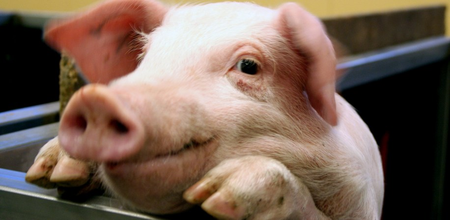 The PhD candidate will assess the impact of novel feeds in monogastric animals like pigs.
