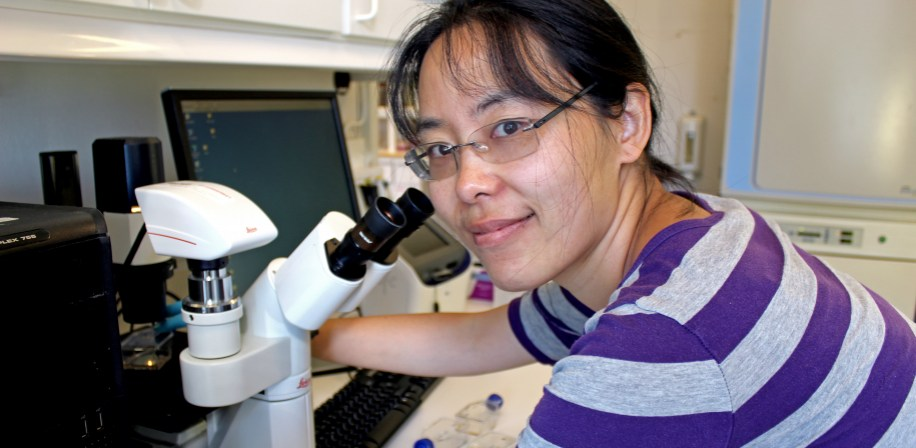 Peng Lei studying cells from the fish gut in the lab at NMBU.
