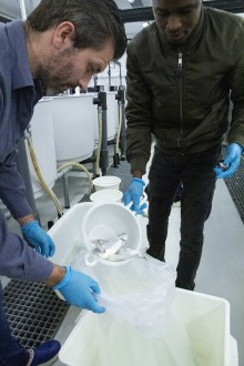 Researcher Sergio Rocha and PhD student Jeleel Opeyemi Agboola carefully place the fish in the bags before transporting them to NIVA's facilities